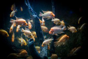 Why do fish swim in schools?
